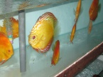 discus golden