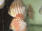 discus red spotted green et discus chekerboard