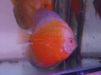 discus red white